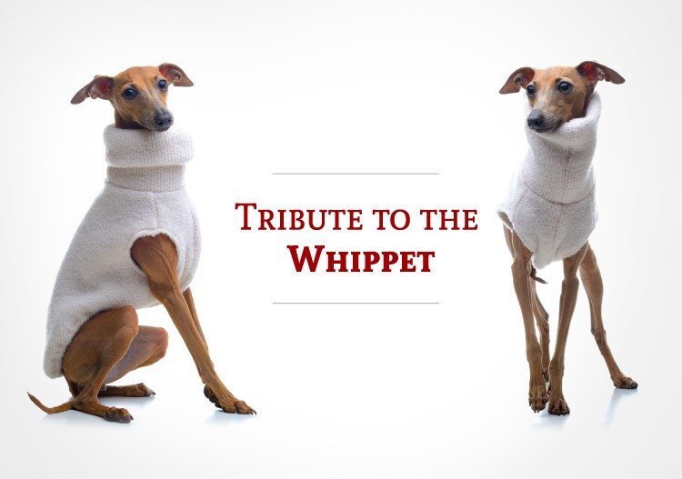 Tribute to the Whippet